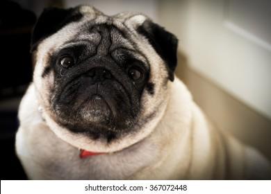 A fat pug looking up at the camera.