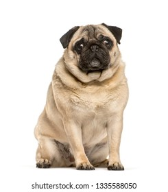 Fat pug sitting in front of white background