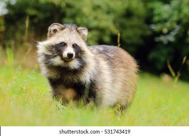 Fat raccoon dog