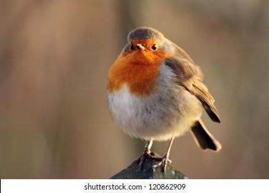 Fat robin red breast