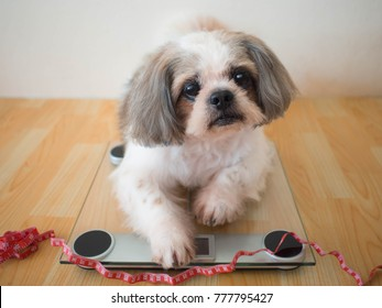 Fat Shih tzu dog sitting on weight scales with red measuring tape at home. Concept of pet health care, animal obesity problem and diet control.
