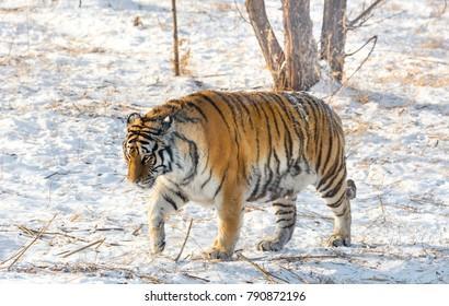 Fat Tiger Images Stock Photos Vectors Shutterstock