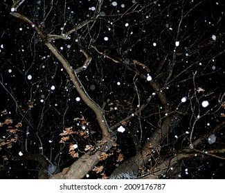 Fat snowflakes, clumps, lit up, looking up at leafless oak at night.