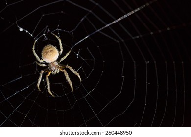 Fat spider on  web