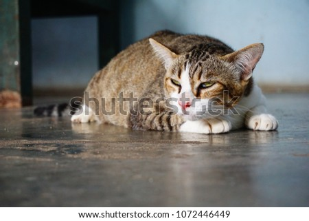 Fat Tiger Cat Crouching Stock Photo Edit Now 1072446449 Shutterstock