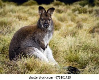 Fat Wallaby in Tasmania.