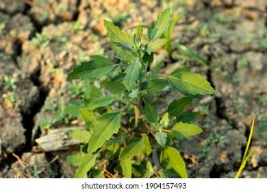 Fat-hen ppr Chenopodium album grass and vegitable
