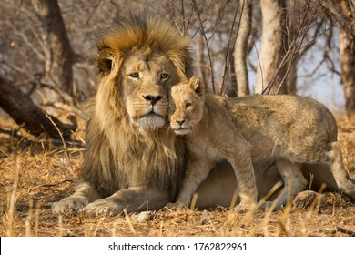 Father and baby lion horizontal portrait with the male lion lying on yellow dry grass and the lion cub standing closely next to him in Kruger Park South Africa