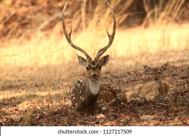 Father and baby spotted deer, they were constantly looking if there is danger nearby , Photographed this image at tiger reserve.