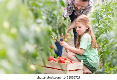 Father and daughter harvesting tomatoes at farm