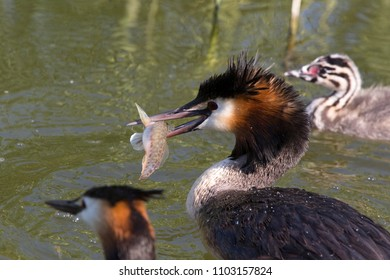 Father grebe caught a big fish for the young grebe birds