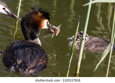 Father grebe has just caught a fish for the little grebe birds