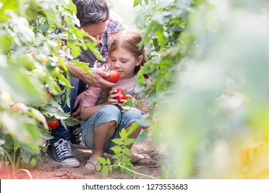 Father making daughter smell fresh tomato at farm