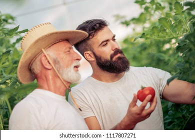 Father and son check harvest of tomato in greenhouse.People,farming, gardening and agriculture concept.