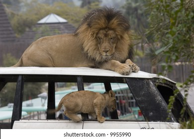 Father and Son - Lion cub plays under the wathful eye of the lion.