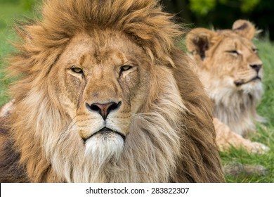 Father and Son, Lion and male lion cub.