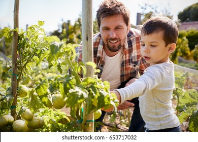 Father And Son Looking At Tomatoes Growing On Allotment