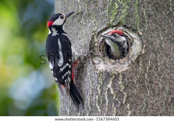 Father and son, portrait of woodpeckers (Dendrocopos major)