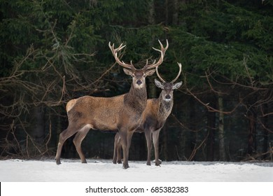 Father And Son:Two Generations Of Noble Deer Stag. Two Red Deer (Cervus Elaphus ) Stand Next The Winter Forest. Winter Wildlife Story With Deer And Spruce Forest. Two Stag Close-Up. Belarus Republic.