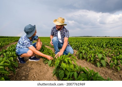 Father is teaching his son about cultivating chili. Chili plantation successfully sown. Farmers in agricultural field.
