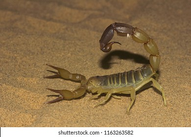 Fattail scorpion or fat-tailed scorpion, Androctonus sp. from Jaisalmer, Rajasthan, India