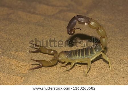 Fattail scorpion or fattailed