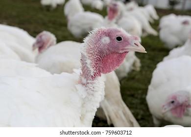 Fattened farm turkeys