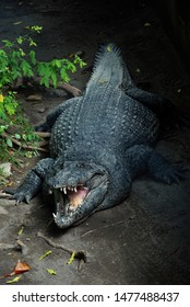 fatty crocodile look so scary with open jaw