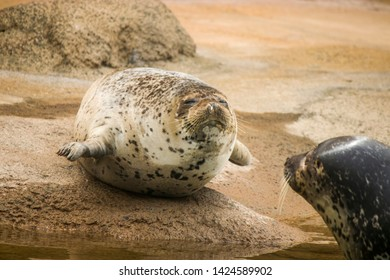 """a fatty spotted seal rise the head with smile. It s a member of the family Phocidae, and is considered a """"true seal"""". It inhabits ice floes and waters of the north Pacific Ocean and adjacent seas."""