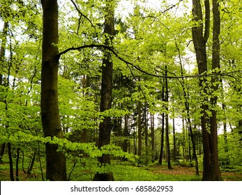 A Fau de Verzy is either a dwarf beech (Fagus sylvatica variety tortuosa), a dwarf oak tree, or a dwarf chestnut tree. These grow in the forest of Verzy in Champagne France