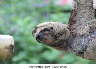 Faultier (Sloth) in Costa Rica
