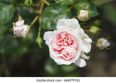 The Faun rose