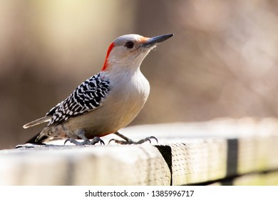 Fauna Avian Colourful Colorful Bird Birds Red Bellied Woodpecker