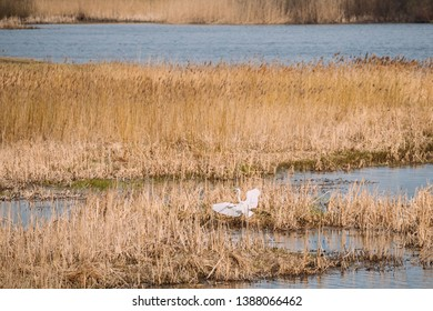 Fauna Of Belarus. Great Egret Or Ardea Alba, Also Known As The Common Egret, Large Egret, Or Great White Egret Or Great White Heron Flaps Its Wings Near River Pond Lake In Spring Season.