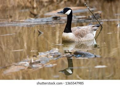 Fauna Birds Shorebirds Canada Goose Canadian Icon Swimming Malden Park Pond