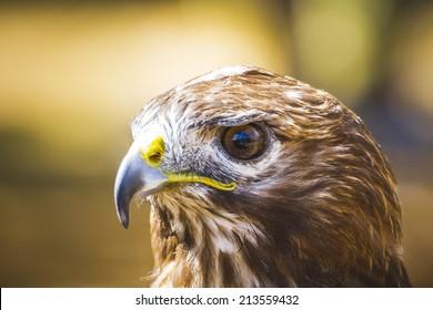 fauna, eagle, diurnal bird of prey with beautiful plumage and yellow beak