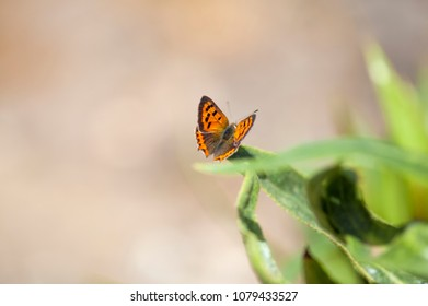Fauna of Gran Canaria -  Lycaena phlaeas butterfly, common name small copper