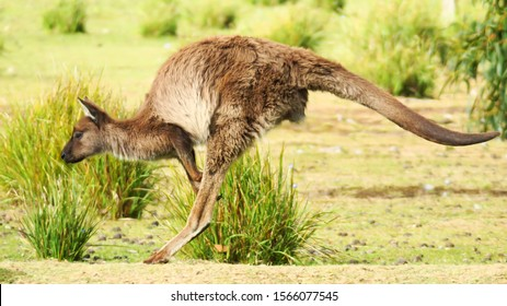 fauna of kangaroo island south australia