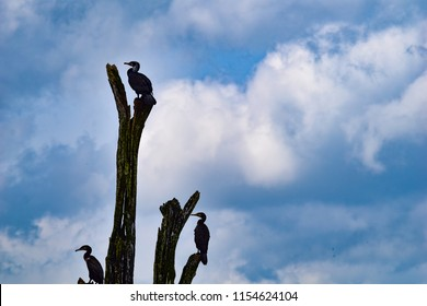 Fauna of Periyar lake - Cormorants. Spotted perched on tree barks while boating in the Periyar Lake.