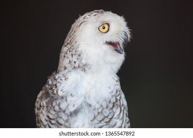 Fauna Winged Feathered Bird Snowy Owl Captive Closeup