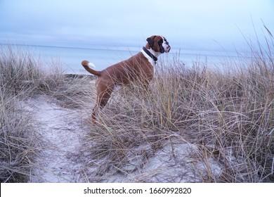 Fawn boxer dog on white sand beach