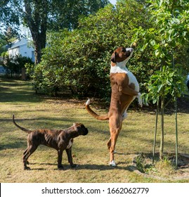 Fawn boxer dog smelling apples
