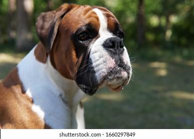 Fawn boxer dog in the sun