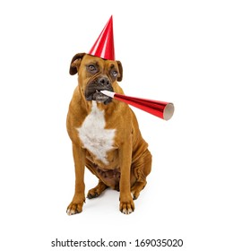 A fawn Boxer dog wearing a red hat and blowing on a party horn
