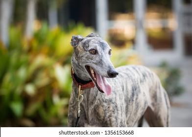 Fawn brindle Greyhound dog outdoor portrait