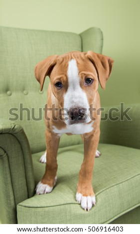 Fawn color pitbull puppies