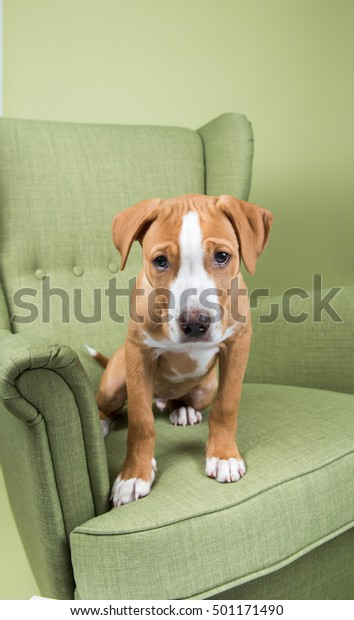 Fawn Colored Pit Bull Mix Puppy Stock Photo (Edit Now) 501171490