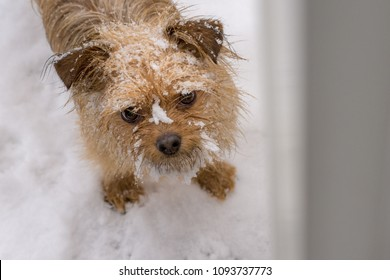 Fawn colored small dog waiting at the door with its beard covered in snow