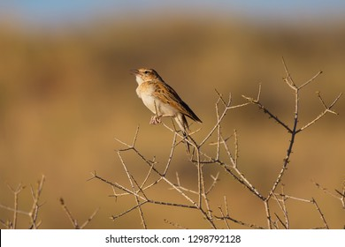 Fawn coloured lark singing his morning song on a Driedooring shrub