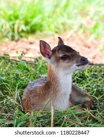 Fawn deer / little young deer cute animal wildlife - Eld's deer lying on grass thamin , Brow-antlered